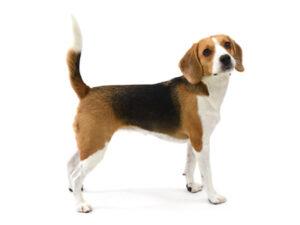 エムドッグス,動物プロダクション,ペットモデル,ペットタレント,モデル犬,タレント犬,ビーグル,ウル
