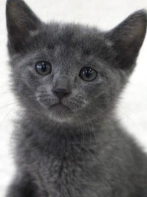 エムドッグス,動物プロダクション,ペットモデル,ペットタレント,モデル猫,タレント猫,ロシアンブルー,子猫