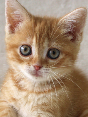 エムドッグス,動物プロダクション,ペットモデル,ペットタレント,モデル猫,タレント猫,マンチカン,子猫