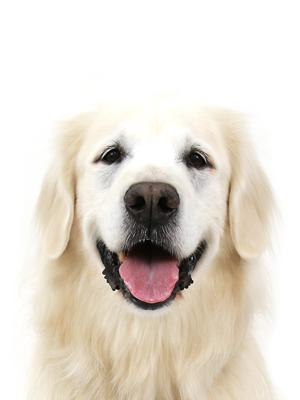 エムドッグス,動物プロダクション,ペットモデル,ペットタレント,モデル犬,タレント犬,ゴールデンレトリーバー,Charm,チャーム