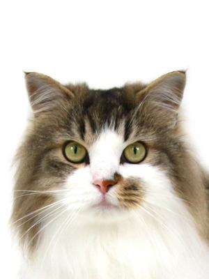 エムドッグス,動物プロダクション,ペットモデル,ペットタレント,モデル猫,タレント猫,ラガマフィン,36,みろく
