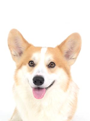 エムドッグスエムドッグス,動物プロダクション,ペットモデル,ペットタレント,モデル犬,タレント犬,中型犬,コーギー,煌,こう,,動物プロダクション,ペットモデル,ペットタレント,モデル犬,タレント犬,中型犬,煌,こう,