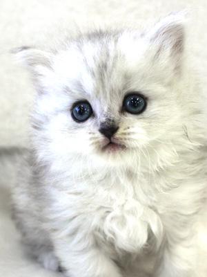 エムドッグス,動物プロダクション,ペットモデル,ペットタレント,モデル猫,タレント猫,ミヌエット,子猫