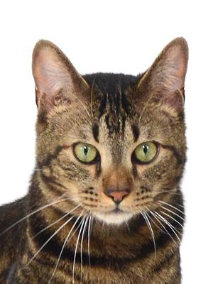エムドッグス,動物プロダクション,ペットモデル,ペットタレント,モデル猫,タレント猫,ベンガル,健太ブラックワイルド