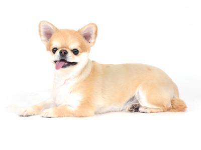 エムドッグス,動物プロダクション,ペットモデル,ペットタレント,モデル犬,タレント犬,小型犬,チワワ,チョコ,ちょこ