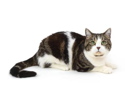 エムドッグス,動物プロダクション,ペットモデル,ペットタレント,モデル猫,タレント猫,アメリカンショートヘア,おこげ