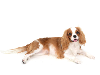 エムドッグス,動物プロダクション,ペットモデル,ペットタレント,モデル犬,タレント犬,キャバリア,アリアナ