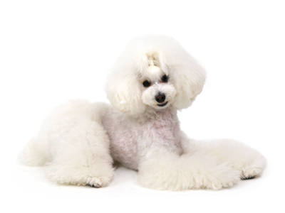 エムドッグス,動物プロダクション,ペットモデル,ペットタレント,モデル犬,タレント犬,トイプードル,ルカ