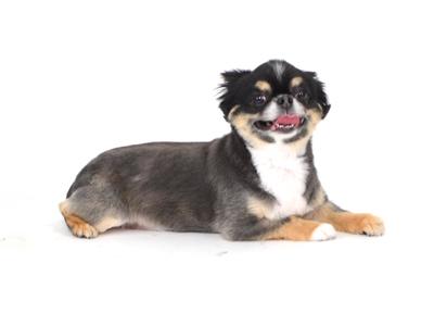 エムドッグス,動物プロダクション,ペットモデル,ペットタレント,モデル犬,タレント犬,小型犬,チワワ,ナナ,なな