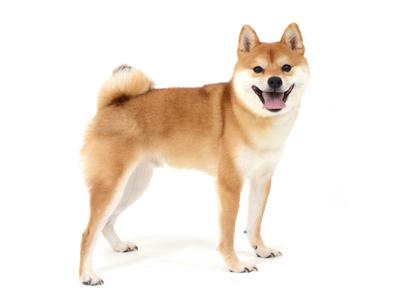 エムドッグス,動物プロダクション,ペットモデル,ペットタレント,モデル犬,タレント犬,柴犬,おかき