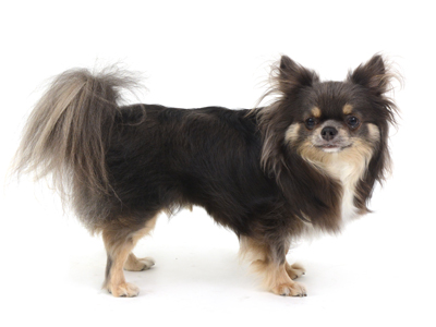 エムドッグス,動物プロダクション,ペットモデル,ペットタレント,モデル犬,タレント犬,チワワ,つぶやん
