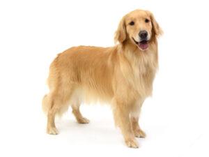 エムドッグス,動物プロダクション,ペットモデル,ペットタレント,モデル犬,タレント犬,ゴールデンレトリーバー,ベル