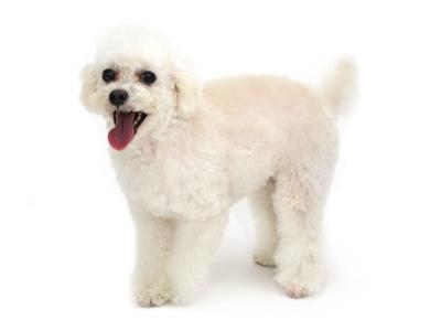 エムドッグス,動物プロダクション,ペットモデル,ペットタレント,モデル犬,タレント犬,ビーグル,Chico,チコエムドッグス,動物プロダクション,ペットモデル,ペットタレント,モデル犬,タレント犬,ビーグル,Chico,チコエムドッグス,動物プロダクション,ペットモデル,ペットタレント,モデル犬,タレント犬,トイプードル,パティ