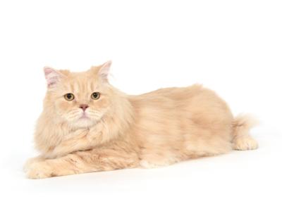 エムドッグス,動物プロダクション,ペットモデル,ペットタレント,モデル猫,タレント猫,スコティッシュフォールド,ティム