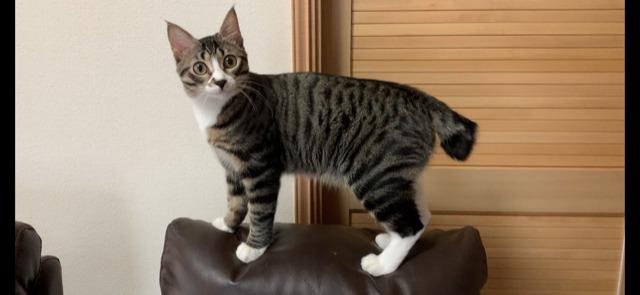 エムドッグス,動物プロダクション,ペットモデル,ペットタレント,モデル猫,タレント猫,MIX猫,夏希,なつき