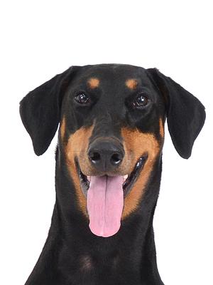 エムドッグス,動物プロダクション,ペットモデル,ペットタレント,モデル犬,タレント犬,ドーベルマン,琴,こと