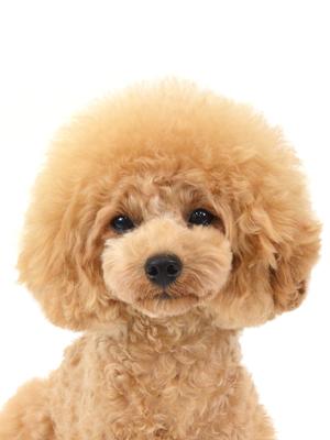 エムドッグス,動物プロダクション,ペットモデル,ペットタレント,モデル犬,タレント犬,トイプードル,モアナ
