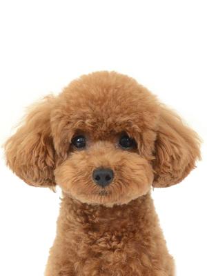 エムドッグス,動物プロダクション,ペットモデル,ペットタレント,モデル犬,タレント犬,トイプードル,KONA,コナ