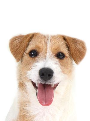 エムドッグス,動物プロダクション,ペットモデル,ペットタレント,モデル犬,タレント犬,ジャックラッセルテリア,ニコ
