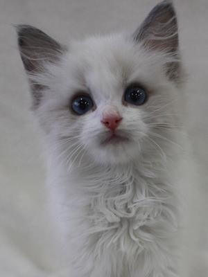 エムドッグス,動物プロダクション,ペットモデル,ペットタレント,モデル猫,タレント猫,ラグドール,子猫