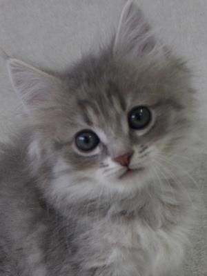 エムドッグス,動物プロダクション,ペットモデル,ペットタレント,モデル猫,タレント猫,ラガマフィン,子猫