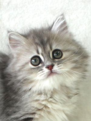 エムドッグス,動物プロダクション,ペットモデル,ペットタレント,モデル猫,タレント猫,セルカークレックス,子猫