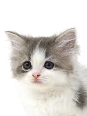 エムドッグス,動物プロダクション,ペットモデル,ペットタレント,モデル猫,タレント猫,ラガマフィン