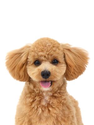 エムドッグス,動物プロダクション,ペットモデル,ペットタレント,モデル犬,タレント犬,ミックス,MIX,マルプー,植木さん,うえきさん