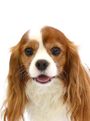 エムドッグス,動物プロダクション,ペットモデル,ペットタレント,モデル犬,タレント犬,キャバリア,J,ジェイ