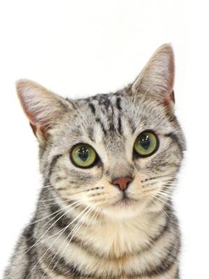 エムドッグス,動物プロダクション,ペットモデル,ペットタレント,モデル猫,タレント猫,アメリカンショートヘア,Lily,リリ