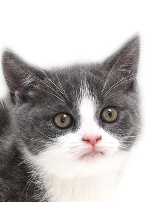 エムドッグス,動物プロダクション,ペットモデル,ペットタレント,モデル猫,タレント猫,ブリティッシュショートヘア