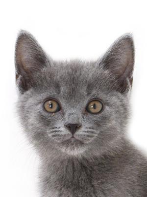 エムドッグス,動物プロダクション,ペットモデル,ペットタレント,モデル猫,タレント猫,シャルトリュー