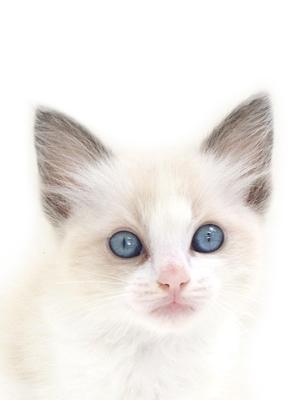 エムドッグス,動物プロダクション,ペットモデル,ペットタレント,モデル猫,タレント猫,ラグドール