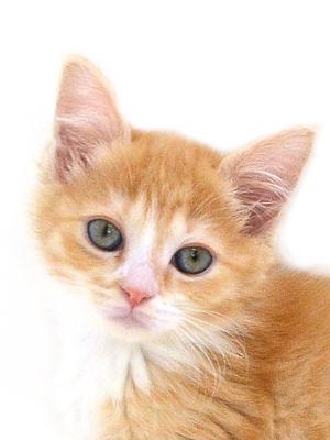 エムドッグス,動物プロダクション,ペットモデル,ペットタレント,モデル猫,タレント猫,マンチカン