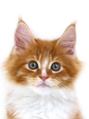 エムドッグス,動物プロダクション,ペットモデル,ペットタレント,モデル猫,タレント猫,メインクーン,子猫