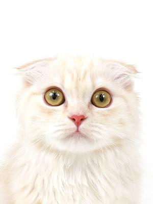 エムドッグス,動物プロダクション,ペットモデル,ペットタレント,モデル猫,タレント猫,マンチカン,わたあめ