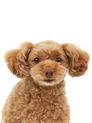 エムドッグス,動物プロダクション,ペットモデル,ペットタレント,モデル犬,タレント犬,トイプードル,クレア