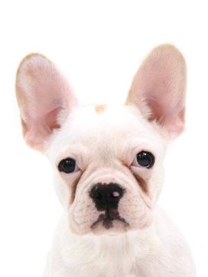 エムドッグス,動物プロダクション,ペットモデル,ペットタレント,モデル犬,タレント犬,フレンチブルドッグ,DANBO,ダンボ