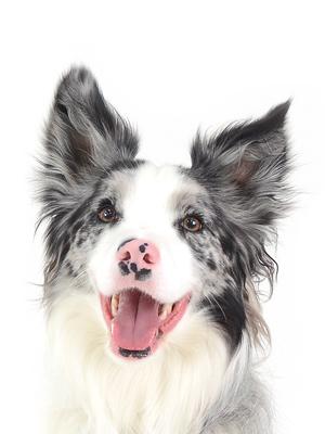 エムドッグス,動物プロダクション,ペットモデル,ペットタレント,モデル犬,タレント犬,ボーダーコリー,ロア