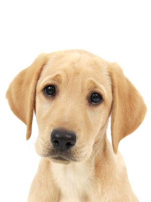 エムドッグス,動物プロダクション,ペットモデル,ペットタレント,モデル犬,タレント犬,ラブラドールレトリーバー,きなこ