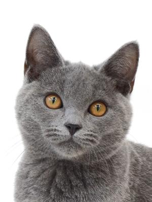 エムドッグス,動物プロダクション,ペットモデル,ペットタレント,モデル猫,タレント猫,シャルトリュー,ラガー