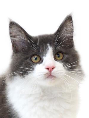 エムドッグス,動物プロダクション,ペットモデル,ペットタレント,モデル猫,タレント猫,ノルウェージャンフォレストキャット