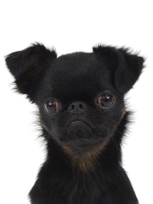 エムドッグス,動物プロダクション,ペットモデル,ペットタレント,モデル犬,タレント犬,プチブラバンソン,エルマー