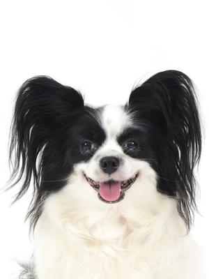 エムドッグス,動物プロダクション,ペットモデル,ペットタレント,モデル犬,タレント犬,パピヨン,ティアラ