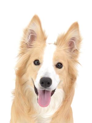 エムドッグス,動物プロダクション,ペットモデル,ペットタレント,モデル犬,タレント犬,ボーダーコリー,マディ