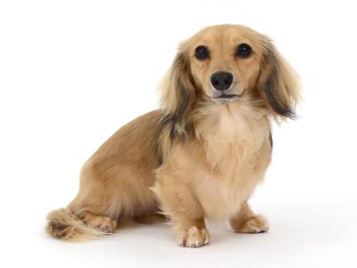 エムドッグス,動物プロダクション,ペットモデル,ペットタレント,モデル犬,タレント犬,カニーヘンダックスフンド,キャンディー,candy