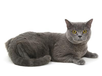 エムドッグス,動物プロダクション,ペットモデル,ペットタレント,モデル猫,タレント猫,ブリティッシュショートヘア,Guy,ガイ