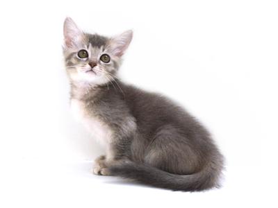 エムドッグス,動物プロダクション,ペットモデル,ペットタレント,モデル猫,タレント猫,ソマリ