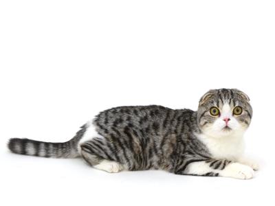 エムドッグス,動物プロダクション,ペットモデル,ペットタレント,モデル猫,タレント猫,スコティッシュフォールド,Ohagi,おはぎ