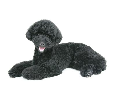 エムドッグス,動物プロダクション,ペットモデル,ペットタレント,モデル犬,タレント犬,トイプードル,のあ